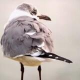 En sjælden amerikansk lattermåge er blevet set i Hanstholm. Free/Tonny Papillon