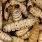 ARKIVFOTO 2015 af melorme- - Se RB 7/9 2016 07.15. Myrer og melorme er den nye snack. Kriblende kryb og insekter giver proteiner, vitaminer og mineraler og kan være et klimavenligt alternativ til traditionelt kød. (Foto: Søren Bidstrup/Scanpix 2016)