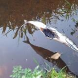 Nervegiften carbofouran er blevet fundet i fisk, der var sat op på et spid ved en sø i den nordlige del af vildmosen. Nervegiften har taget livet af op mod en halv snes fredede rovfugle siden 2010. Scanpix/Bettina Pohle, Mst Nordjylland/