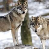 ARKIVFOTO 2012 af europæiske grå ulve i en dyrepark i Sainte-Croix, Frankrig