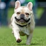 Sådan skal en fransk bulldog i topform se ud. I fuld firspring med åbne luftveje. Desværre er mange fladnæsende hunde som denne race blevet avlet imod så flade næser, at det kniber med vejrtrækningen.
