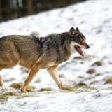 ARKIVFOTO 2013 af ulv i Skandinavisk Dyrepark