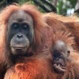 Orangutangmødre drager omsorg for deres unger på en måde, som kun har sin lige blandt mennesker.