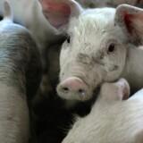 Dyrlæger og landmænd skal ifølge Fødevarestyrelsen gå uden om en række antibiotikatyper, som bruges til behandling af mennesker, når grise skal behandles for infektioner. Scanpix/Henning Bagger/arkiv