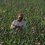Afghanistans opiumsproduktion er næsten blevet fordoblet i år i forhold til 2016, mens områder med opiumvalmuer er steget med 63 procent, viser tal fra FN. Scanpix/Noorullah Shirzada/arkiv