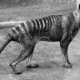 Verdens sidste tasmanske tiger hed Benjamin og døde i 1936 i Hobart Zoo på den australske ø Tasmanien.