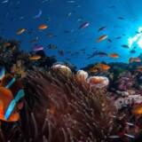 Great Barrier Reef er i fare.