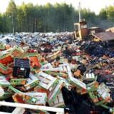 En bulldozer smadrer ferskner uden for den russiske by Smolensk. Foto: AFP