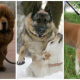 Fra venstre ses her en tibetansk mastiff, en tysk hyrdehund og en akita.