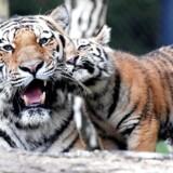 Arkivfoto. Truede dyr bliver handlet i stor stil i Sydøstasien. De bruges som statussymbol eller i naturmedicin. Hvis det fortsætter, uddør mange arter, fortæller WWF.