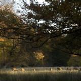 Efter de første frostnætter bliver nogle af løvtræernes blade røde. Her græsser dyrene i den efterårsklædte  Jægersborg Dyrehave.