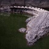 En 53-årig mand er blevet spist af en krokodille i Filippinerne, mens han ville sikre sin båd mod tropisk storm. Scanpix/Jeanne Kornum/arkiv