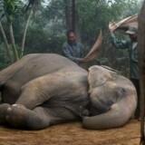 Sovende elefant i Nepal.