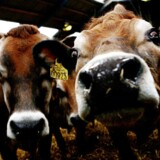 Syv pct af amerikanere tror, at brune køer producerer kakaomælk.48 pct. indrømmer, at de ikke ved, hvor kakaomælk kommer fra.
