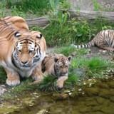 Arkivfoto: Tiger med unger i Zoo i Leipzig, Tyskland / AFP PHOTO / dpa / Sebastian Willnow / Germany OUT
