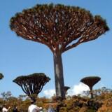 Drageblodstræet på den enestående yemenitiske ø Socotra ligner noget af en anden verden, men træet med den røde harpiks er truet af bl.a. turisme.