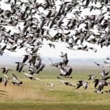 En massiv stigning i antallet af gæs i Danmark og Europa truer naturen og kan være til fare for flysikkerheden. Her letter en stor flok Bramgæs fra Margrethe Kog i Højer. (Foto: STEFFEN ORTMANN/Scanpix 2013)