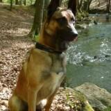 Narkohunden Pablo meldes torsdag stjålet for anden gang. Ifølge Dansk Kennel Klub er tyveri af hunde et stigende problem, og derfor skal hundeejere tage sig i agt, lyder opfordringen. Free/Privatfoto / Flyvevåbnet