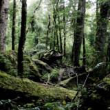 Verdens største regnskovsområde, Amazonas i Sydamerika, er truet af skovdrift. En ny rapport fra WWF, Verdensnaturfonden når frem til, at 60 procent af Amazonas kan være forsvundet i 2030, hvis afskovningen får lov at fortsætte. Foto: Erik Refner