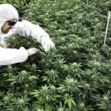 »Jeg fik at vide, at cannabis er alletiders mod gigt, at det overhovedet ikke er farligt, og at det derfor bare var om at komme i gang.«