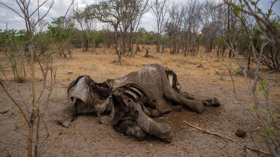 Ukendt dræber slår elefanter ihjel i hobetal...