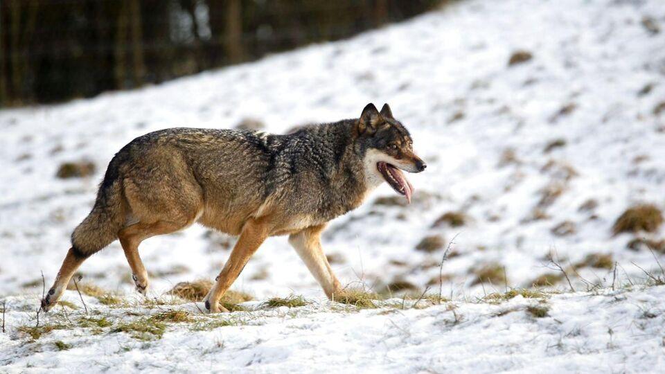 Entusiaster mener at have fundet spor efter ulveunger i Jylland