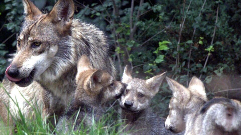 Ulvehyl: Har Danmark fået sin første ulvefamilie i 200 år?