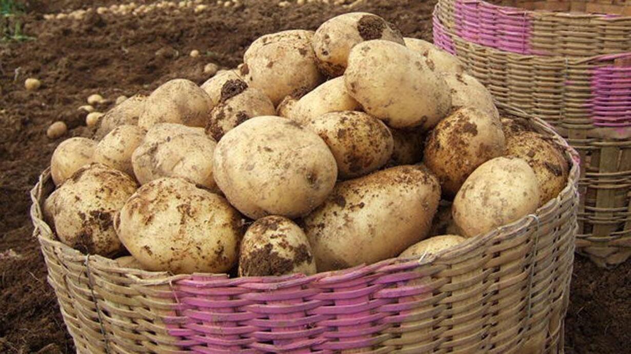 Kolde Kartofler Er Guf For Tarmen