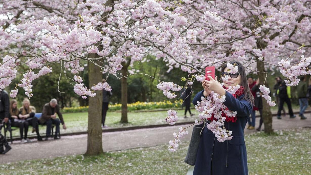 blomstrende kirsebær dating site