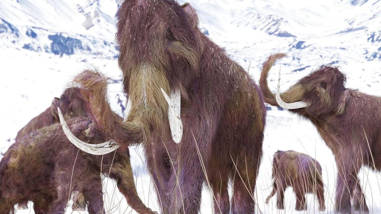 Mamut dyr