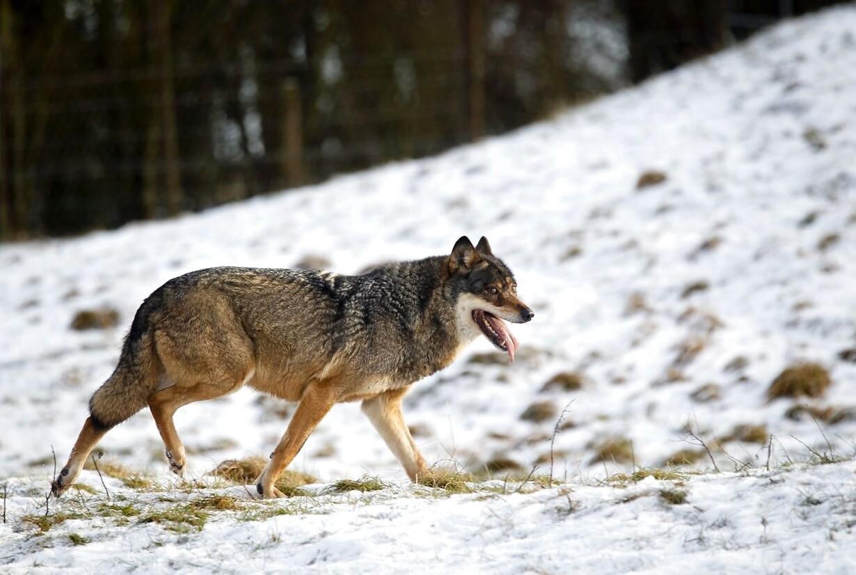 Minister åbner nu op for erstatning efter ulveangreb