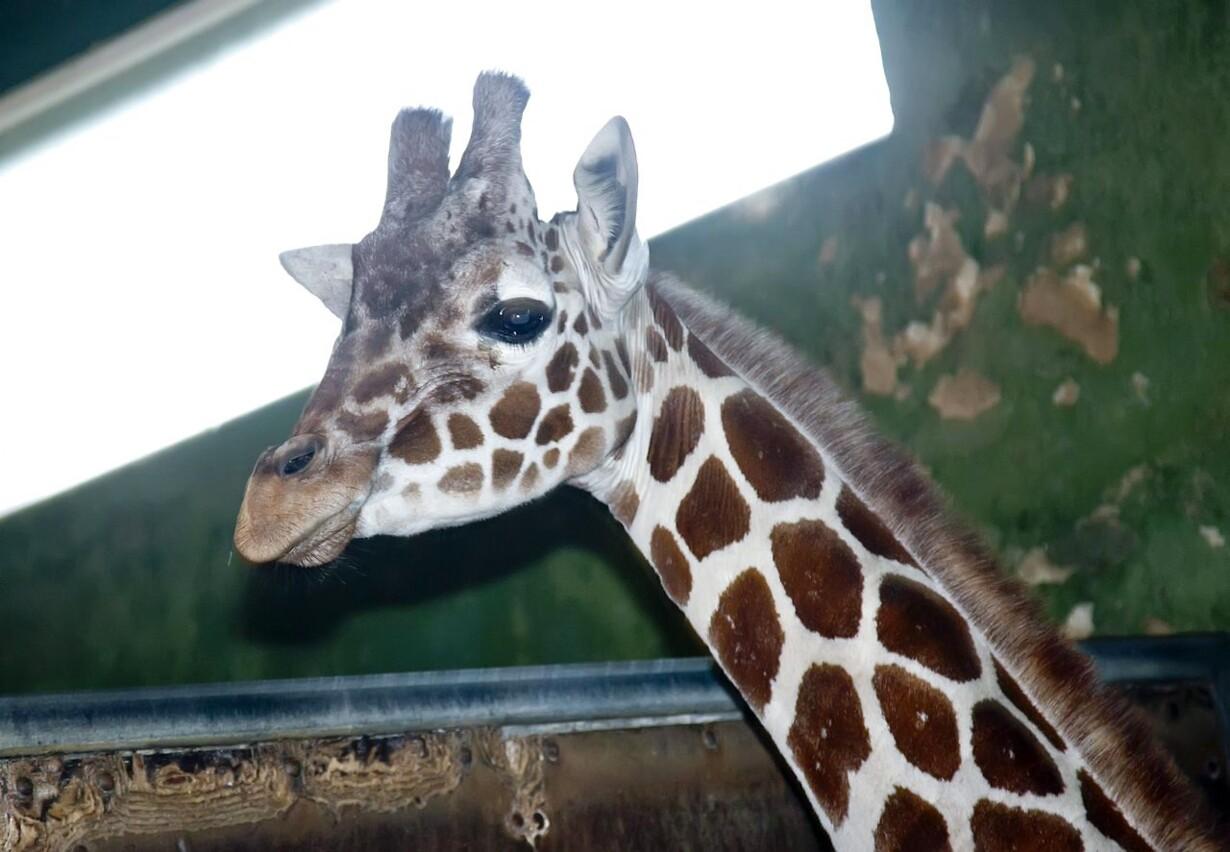 Giraffen Elmer
