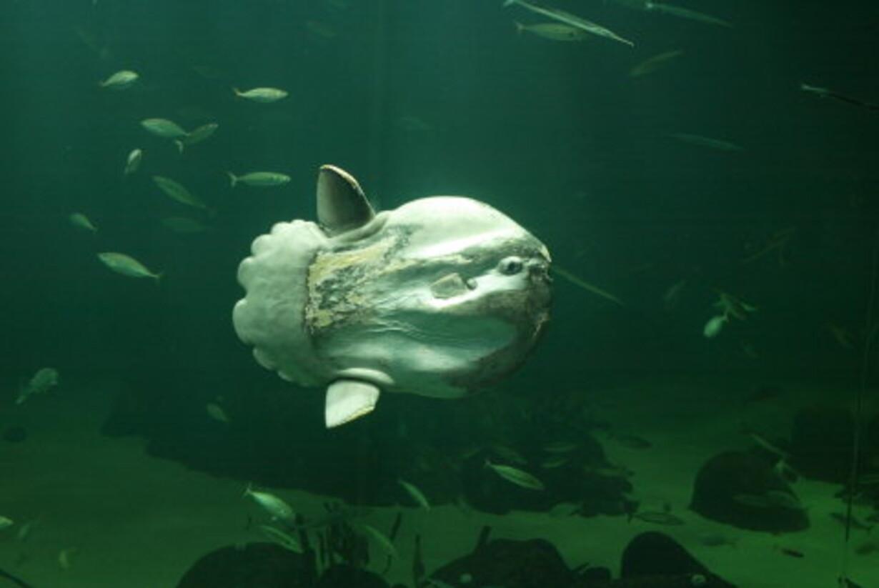Udstopning af klumpfisk opgivet - 1