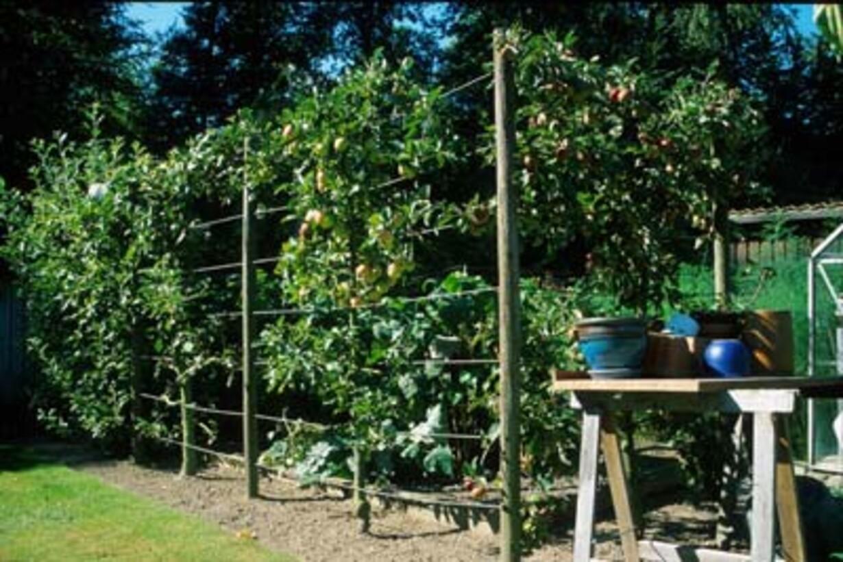 espalier frugttræer