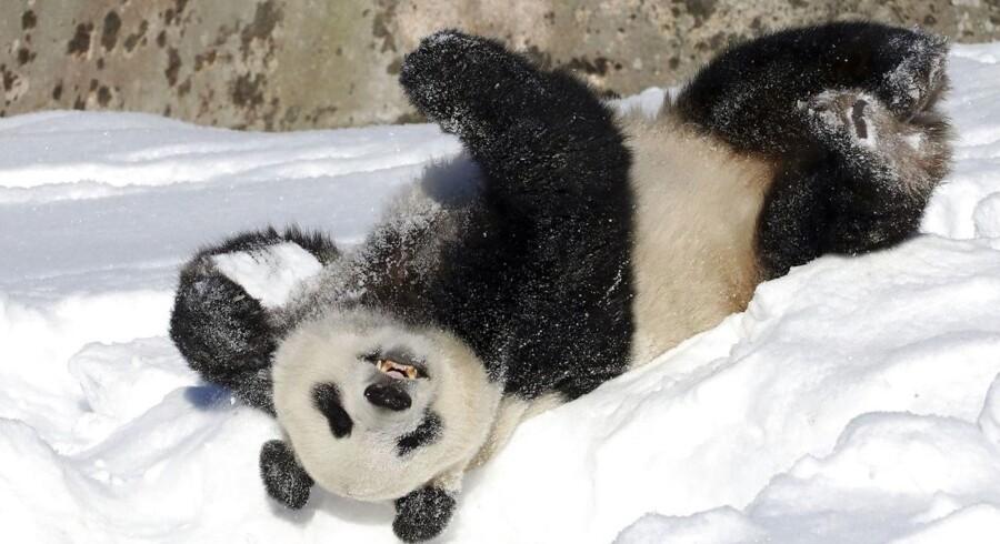 Der skønnes at være over 1.800 vilde pandaer i Kina, og nu får de mere plads at boltre sig på med etableringen af en ny, stor nationalpark.
