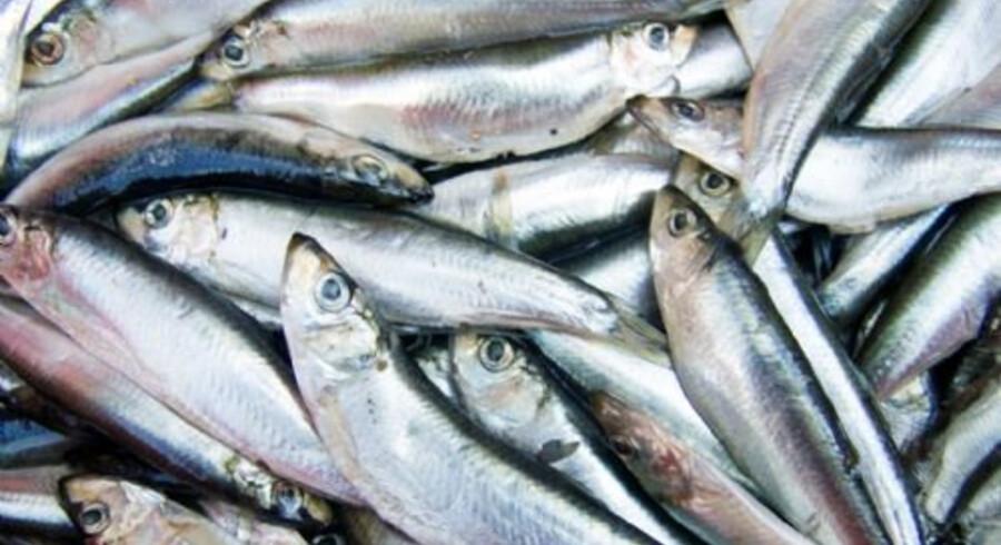 Fisk er vejen til en god søvnrytme, viser nyt udenlandsk forskningsstudie. Free/Colourbox
