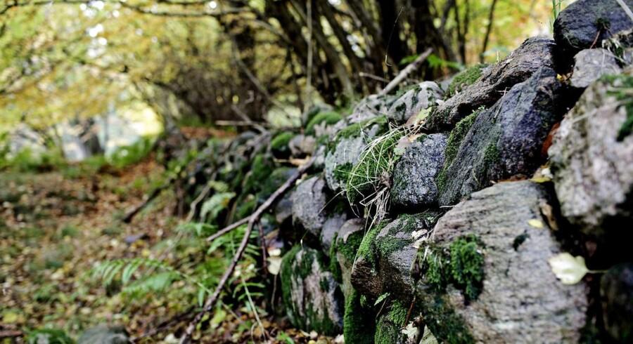 Arkivfoto af Gribskov, som er en af de områder, hvor driftskov skal lægges om til urørt skov.