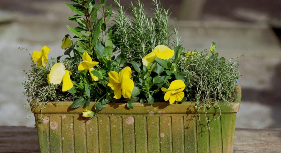Ifølge Jesper Corfitzen kan man sagtens plante både krydderurter og stedmorblomster sammen i sin altankasse. Scanpix/Mogens Ladegaard