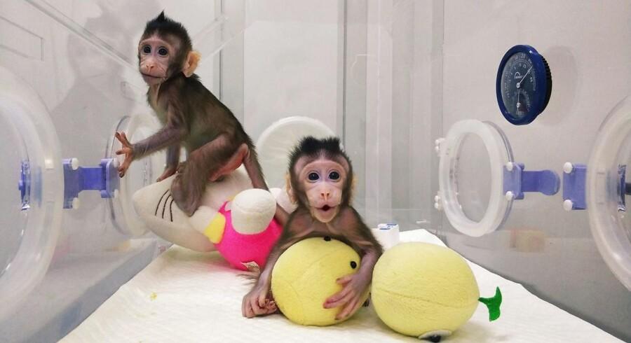 Disse to makakaber er født to uger efter hinanden, men er helt genetisk identiske. De er nemlig resultatet af et banebrydende kinesisk kloningseksperiment på Det Kinesiske Akademi for Naturvidenskab i Shanghai. Aldrig før er det lykkedes at klone primater, der er den dyregruppe, som mennesker er en del af.