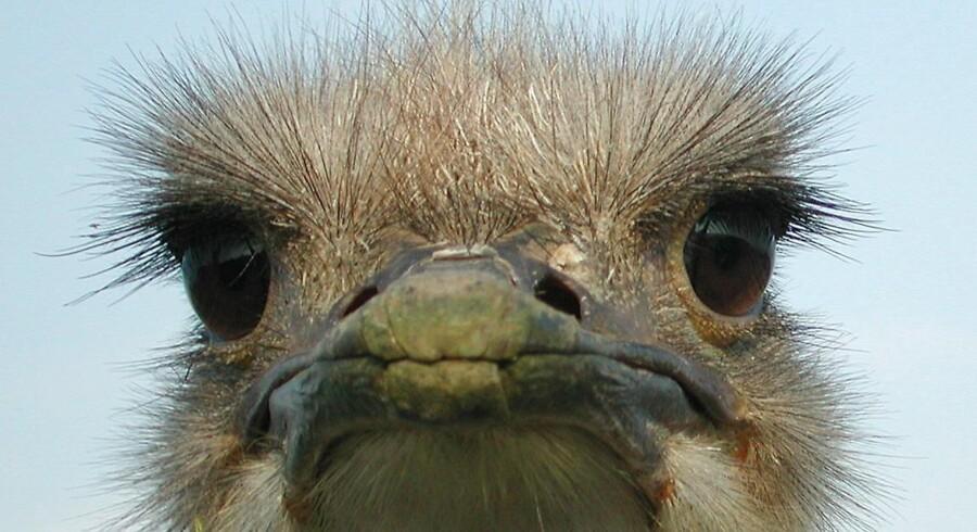 Der er tre strudse i Zoo i København. De må ikke komme ud lige nu.