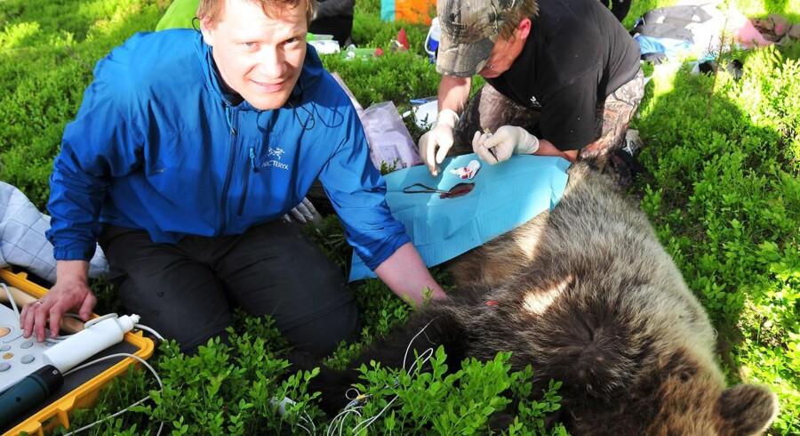 En hjertelæge og forsker på Amager og Hvidovre Hospital er med i et forskningsprojekt med brune bjørne, hvor forskerne vil bruge viden om bjørnens vinterhi og fysiologi til at forebygge hjertesvigt og blodpropper hos mennesker. Peter Godsk Jørgensen, hjertelæge, er ved at scanne en bedøvet bjørn