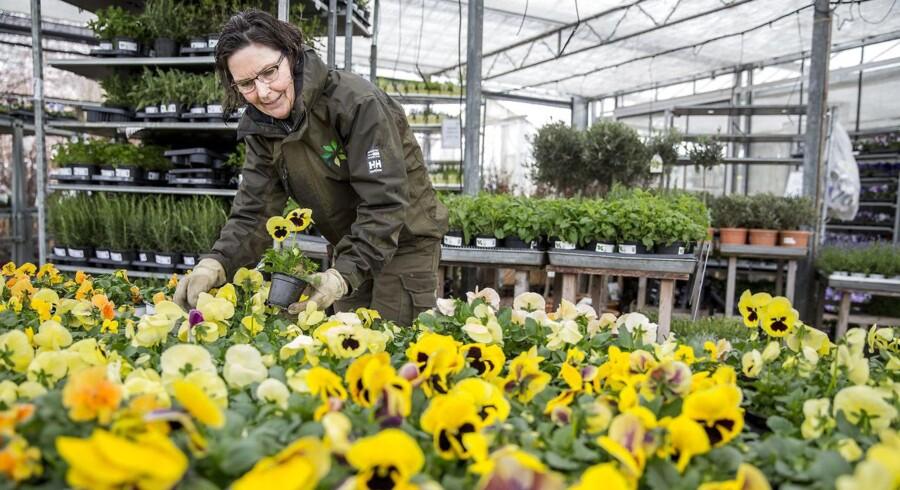 Dorthe Okkels er gartner i Havecenteret Grønne Hjem. Her ses hun med forårets gule hornvioler og stedmoderblomster, som har fået en renæssance fra 80'erne. Foto: Nikolai Linares