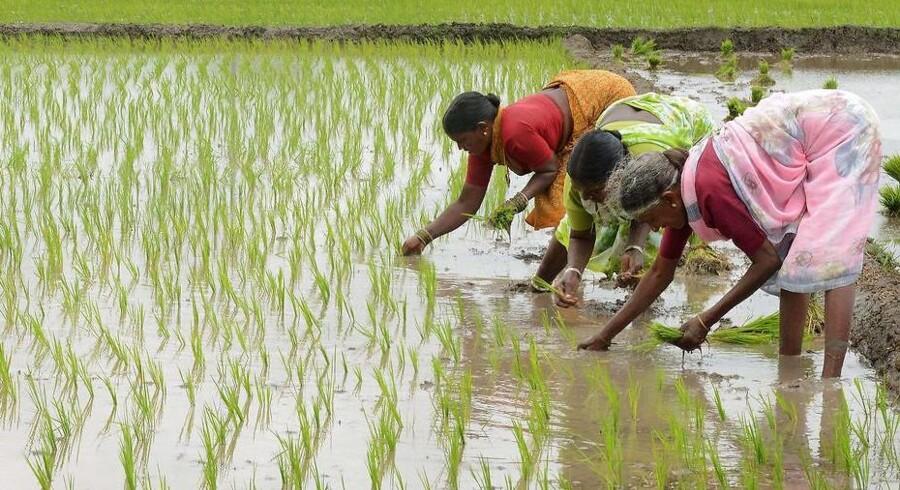 Indiske kvinder på markarbejde.