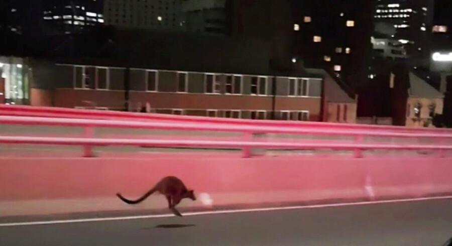 Kænguruen slap uden alvorlige skader og blev fragtet til Sydneys zoologiske have, Taronga Zoo, for at blive tjekket yderligere. Reuters/Handout