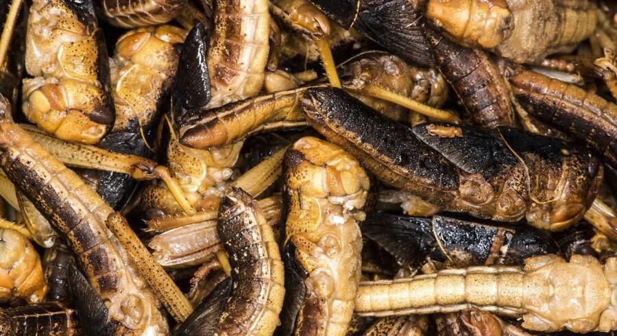 Var det noget med en græshoppe-snack? De er frygteligt proteinholdige, udleder meget mindre CO2 end traditionelle kødkilder - og knaser på en uhyre distinkt facon.