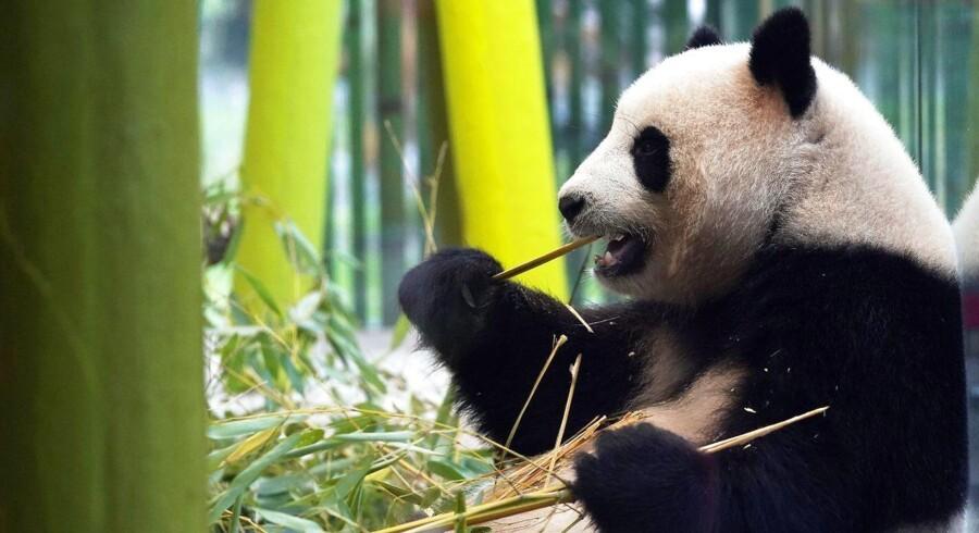 Baglæns gang og manglende appetit. Pandabjørnen Meng Meng er kommet i puberteten og har brug for sex, siger berlinske dyrepassere.
