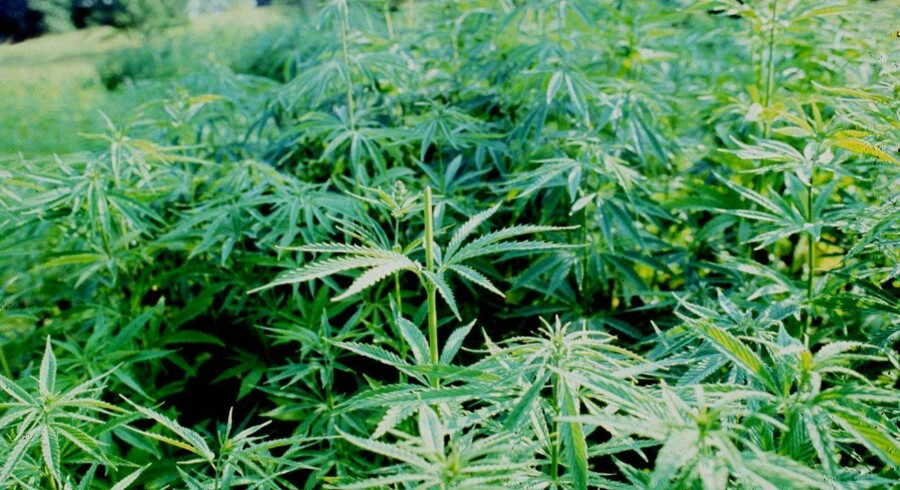 I Canada bliver marihuana muligvis lovligt.