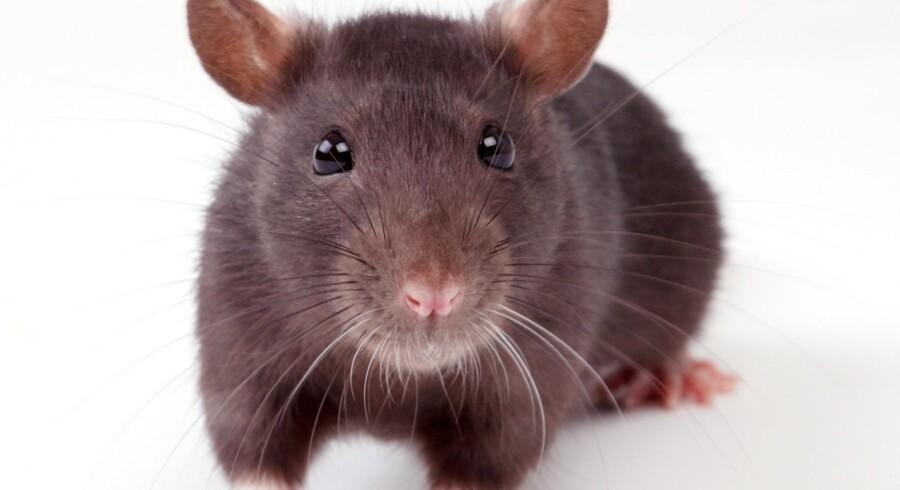 Fanø Kommune har konstateret en rotte på vadehavsøen, der ellers har været fri for skadedyret i hvert fald siden 1981.