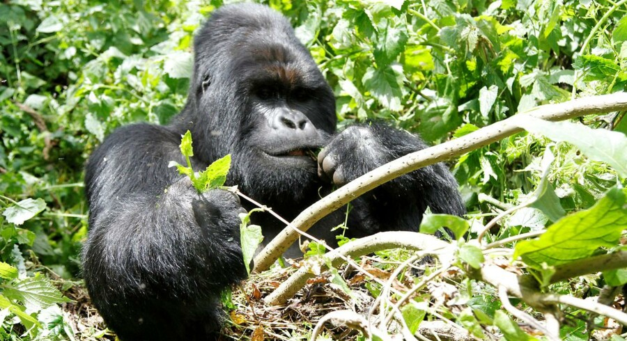 An endangered silverback mountain gorilla from the Nyakamwe-Bihango family feeds within the forest in Virunga national park near Goma in eastern Democratic Republic of Congo, May 3, 2014. REUTERS/Kenny Katombe/File Photo