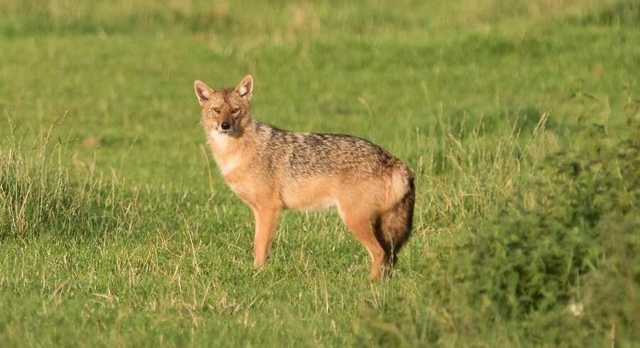En guldsjakal (på billedet) ligner til forveksling en ræv - men er lidt større og har en kortere hale. Og så er den i øvrigt, modsat ræven, fredet i Danmark.
